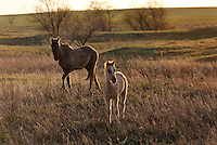Soft evening light falls on a foal and mare in the Gila herd of wild horses at International society for the Protection of Mustangs and Burros. <br /> Three herds are  cared for at the oldest wild horse organization founded in 1960.  Karen Sussman is the third president.<br /> Wild Horse Annie, Velma Johnston, was the first. Annie, along with Helen Reilly worked together for the passage of the 1971 Wild Horses and Burros Act to protect horses from slaughter and inhumane treatment.