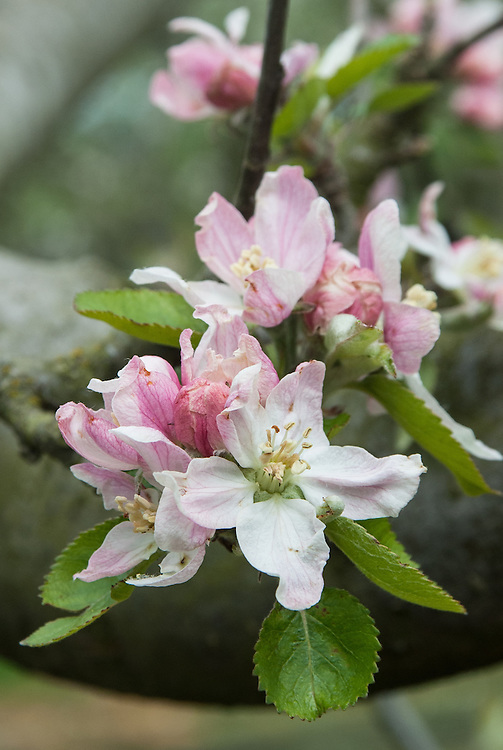 Blossom of Apple 'Bascombe Mystery', early May. An old English dessert apple of unknown origin, first recorded in 1831. Medium sized, round fruit with green skin. Crisp flesh with a strong sweet-sharp flavour.