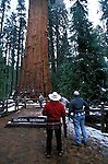 Amérique du Nord, Etats Unis, ouest, état de Californie, parc national de Sequoia, séquoia géant Général Sherman//North America, United States of America, west, California State, Sequoia national park, General Sherman giant sequoia tree