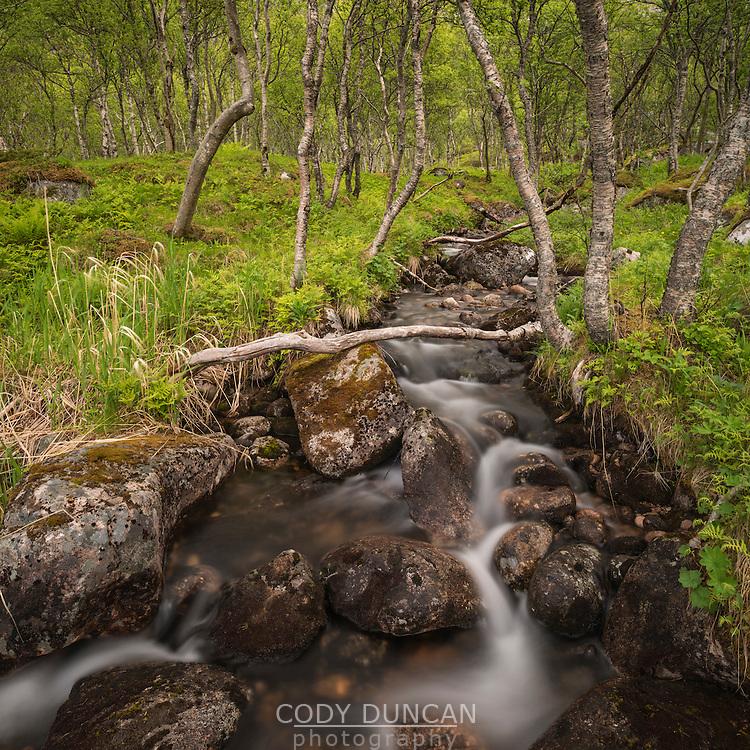 Small stream runs through mountain birch forest, Senja, Norway