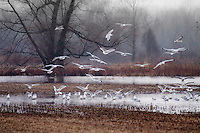 Seagulls  at Sequoyah National Wildlife Refuge in Oklahoma