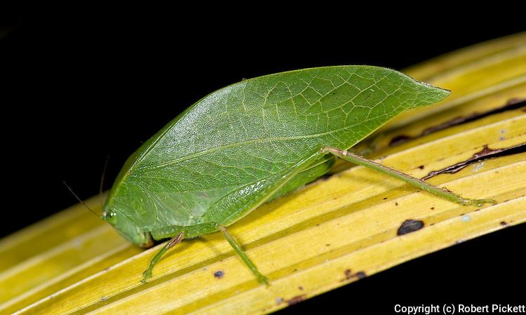 Katydid, Tettigoniidae sp., Ranomafana National Park, Madagascar, bush cricket, long horned grasshopper, mimics green leaf