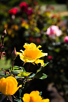 Bright yellow dominates while subdued yellow in the foreground and pink and red in the background frame the glowing yellow rose.