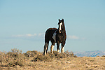 A lone horse pauses on a desert ridge in Northwest Colorado.