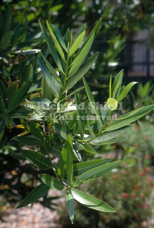12417-CD California Bay Tree, Umbellularia californica, evergreen with aromatic foliage, at Arboretum of California State University, Fullerton, USA