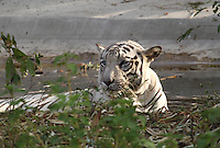 Magnificent white tiger standing in water at Rajiv Gandhi zoological national park Pune