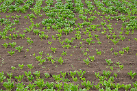 Poor establishment of sugar beet due to late drilling a cold Spring followed by drought conditions <br /> &copy;Tim Scrivener Photographer 07850 303986<br />      ....Covering Agriculture In The UK....