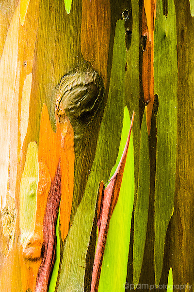 Colorful close-up of bark on rainbow eucalyptus tree.