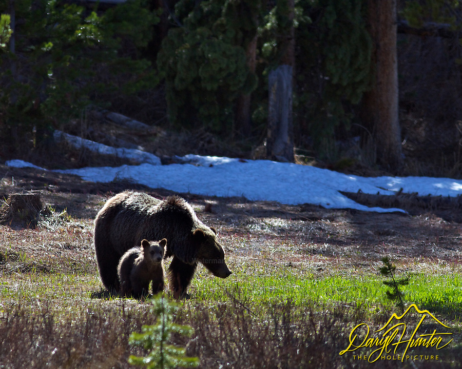 Grizzly sow and Cub, Bridger Teton National Forest, Jackson Hole, Wyoming