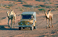 Using a four-wheel drive vehicle to exercise the camels in Abu Dhabi, United Arab Emirates. RESERVED USE - NOT FOR DOWNLOAD -  FOR USE CONTACT TIM GRAHAM