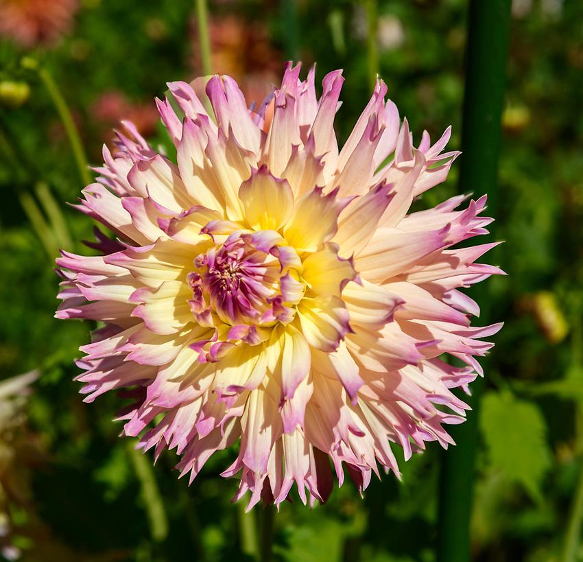 Dahlia seen at the Botanical Garden in Christchurch, New Zealand