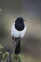 Black-billed Magpie, Pica hudsonia, adult, Yellowstone NP,Wyoming, USA