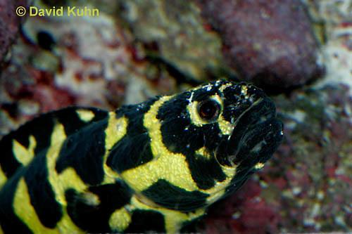 0120-08uu  Convict Blenny - Pholidichthys leucotaenia © David Kuhn/Dwight Kuhn Photography