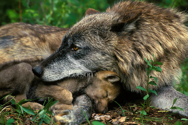 Gray wolf (Canis lupus)--mother with pup.