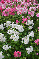 Mixture of garden phlox, white, pink red, and striped, Phlox paniculata, fragrant flowers
