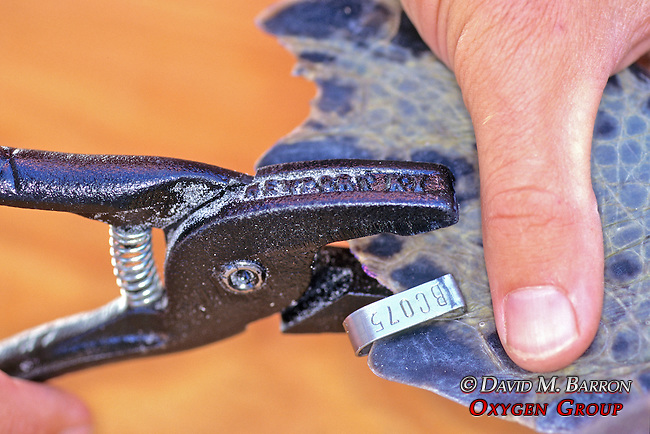 Tagging Flipper Of Black Sea Turtle