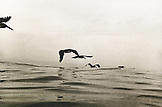MEXICO, Brown Pelicans flying over the Pacific, Nayarit Riviera (B&W)