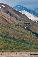 Grizzly bear travels across the Toklat River, Denali National Park, Interior, Alaska.