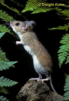 MU14-053z  White-Footed Mouse - Peromyscus leucopus