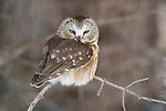 A saw-whet owl perches on a branch in Northwest Wyoming.