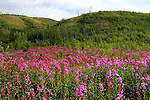 IMAGES OF THE YUKON,CANADA Fireweed; epilobium augustdifolium