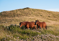 Ponies grazing on Llanddwyn Island, Newborough, Anglesey, Wales. August 2012. They are used to control unwanted vegetation after rabbits numbers were drastically reduced by myxomatosis in 1954.