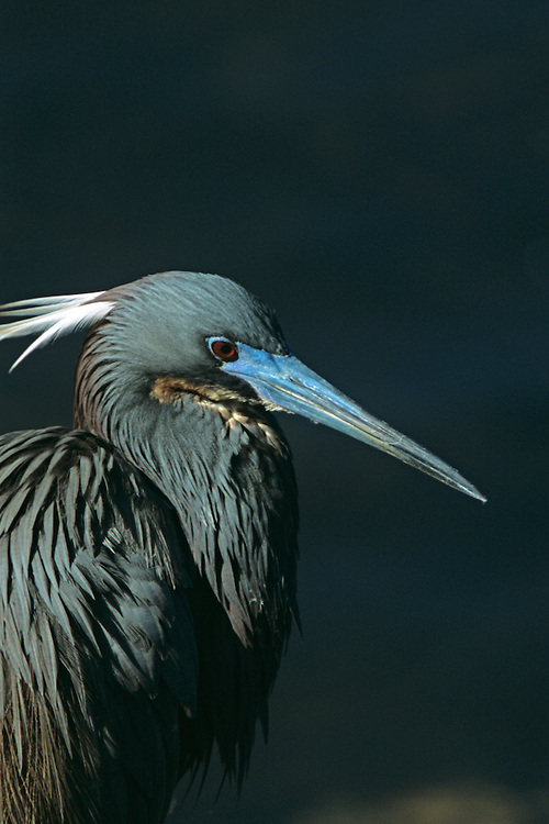 A closeup of a Tri Colored Heron showing its face in breeding plumage. Location: Eco Pond, Flamingo, Everglades, Florida