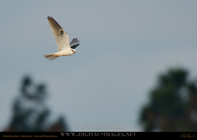 White-Tailed Kite, Dawn Flight, Sepulveda Wildlife Refuge, Southern California