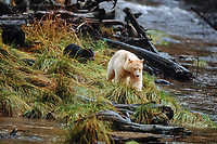 spirit bear, kermode, black bear, Ursus americanus, mother with cubs along a river in the rainforest of the central British Columbia coast, Canada