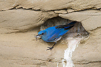 Adult male Mountain Bluebird (Sialia currucoides) at nest cavity with prey. Sublette County, Wyoming. June.