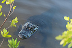 Ding Darling National Wildlife Refuge, Sanibel Island, Florida; an American Alligator standing in shallow water near the shore in early morning light
