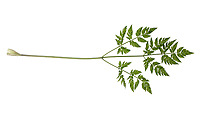 Wiesen-Kerbel, Wiesenkerbel, Anthriscus sylvestris, wild chervil, wild beaked parsley, keck, Queen Anne's lace. Blatt, Blätter, leaf, leaves