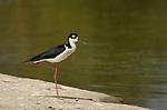 Black-necked Stilt Los Angeles River Southern California