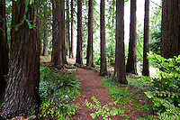 Mulched path through redwood tree grove in California native plant, Sequoia sempervirens