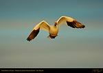 Snow Goose in Flight at Sunrise, Bosque del Apache Wildlife Refuge, New Mexico