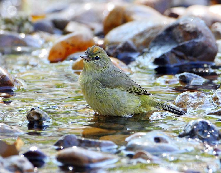Orange-crowned warbler bathing
