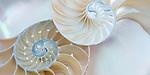 Shells in Still Life
