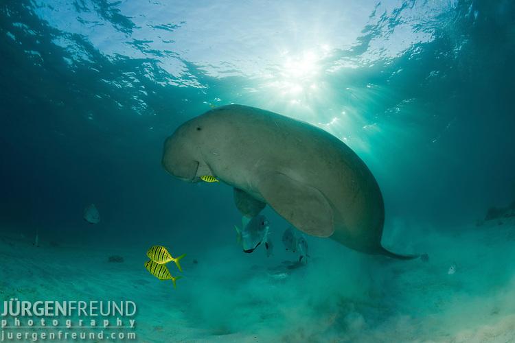 Dugong (Dugong dugon)  surfacing to take a breath of air.