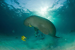 Dugong (Dugong dugon)  surfacing to take a breath of air.