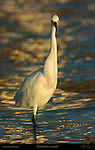 Snowy Egret at Sunrise Frontal Portrait Head-on Sanibel Island Florida