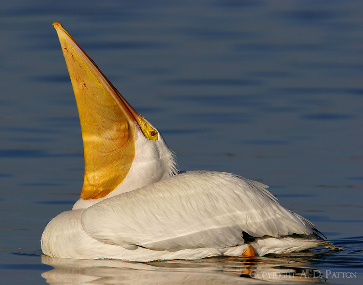 Adult, non-breeding, American White pelican with bill stretched up