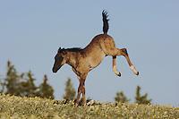 Mustang Horse (Equus caballus), colt jumping, Pryor Mountain Wild Horse Range, Montana, USA