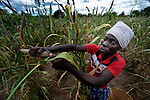 "Cecilia Richard, 33, harvests millet in Captain, a village in southern Malawi that has been hard hit by drought in recent years, leading to chronic food insecurity, especially during the ""hunger season,"" when farmers are waiting for the harvest. The ACT Alliance is working with farmers in this village to switch to alternative, drought-resistant crops, such as millet, as well as using irrigation and other improved techniques to increase agricultural yields. In Captain, the ACT Alliance helped the community install solar-powered pumps that fill a reservoir, which in turn provides water for the irrigation system."