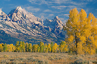 Cottonwoods near Gros Ventre River<br />