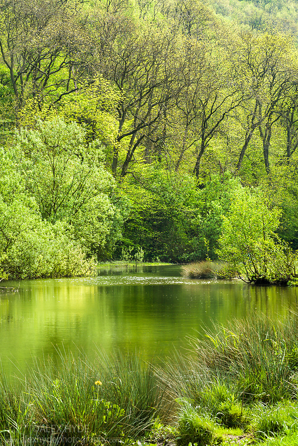 The River Wye surrounded by lush spring growth, Monsal Dale, Peak District National Park, UK. May.
