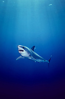 Mako Shark, Isurus oxyrinchus, California