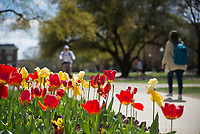 Drill Field tulips with students walking past. <br />