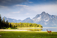 Deer, Jackson Lake, Grand Teton National Park<br />