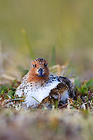 Chicks returning to be brooded by an adult male Spoon-billed Sandpiper. Chukotka, Russia. July.