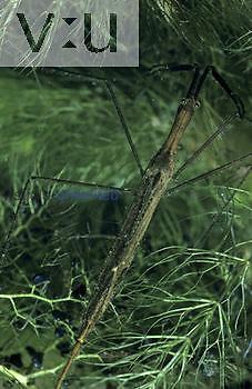 Water Scorpion ,Ranatra fusca,, Hemiptera, North America.